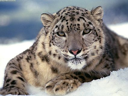 Snow Leopard - Apple